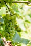 Mazzi di uva verde Immagini Stock Libere da Diritti