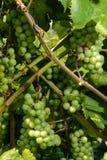 Mazzi di uva verde Fotografia Stock Libera da Diritti