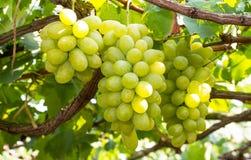 Mazzi di uva verde Immagine Stock
