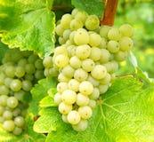 Mazzi di uva verde fresca Fotografie Stock Libere da Diritti