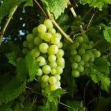 Mazzi di uva verde matura Immagini Stock Libere da Diritti