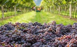 Mazzi di varietà matura di grigio di Pinot dell'uva durante il raccolto nella vigna del Tirolo del sud in Italia del Nord fotografie stock libere da diritti