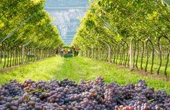 Mazzi di varietà matura di grigio di Pinot dell'uva durante il raccolto nella vigna del Tirolo del sud in Italia del Nord fotografia stock