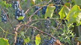 Mazzi fertili di uva selvaggia video d archivio