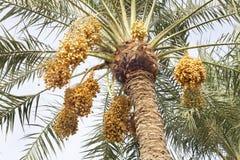 Mazzi gialli delle date in un albero della palma da datteri Fotografie Stock