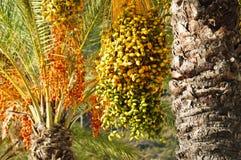 Mazzi maturi di date sull'albero della palma da datteri nel colore verde, giallo, arancio e rosso Machico, Madera, Portogallo fotografia stock libera da diritti