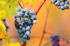 Mazzi maturi di uva rosso scuro con gelo e gocce nell'ambito di luce piacevole durante l'alba, raccolta di autunno dell'uva in Mo Fotografia Stock Libera da Diritti