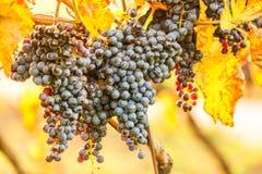Mazzi maturi di uva rosso scuro nell'ambito di luce piacevole durante l'alba, raccolta di autunno dell'uva in Moravia del sud, re fotografia stock libera da diritti
