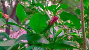 Mazzi rossi del fiore del tulipano immagini stock libere da diritti