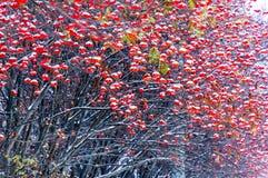 Mazzi rossi di bacche di sorbo nella neve 2 Fotografie Stock Libere da Diritti