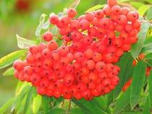 Mazzi rossi di cenere di montagna nella fine dell'estate Fotografie Stock
