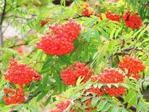Mazzi rossi di cenere di montagna nella fine dell'estate Fotografia Stock Libera da Diritti