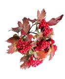 Mazzi rossi luminosi delle bacche del viburno sui rami Fotografia Stock