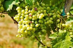 Mazzi verdi dell'uva da tavola in vigna Fotografia Stock Libera da Diritti