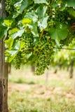 Mazzi verdi dell'uva di Blauer Portugeiser Immagini Stock