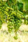 Mazzi verdi dell'uva di Blauer Portugeiser Immagine Stock