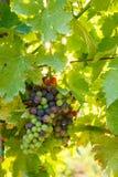Mazzi verdi dell'uva di Blauer Portugeiser Fotografie Stock