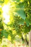 Mazzi verdi dell'uva di Blauer Portugeiser al sole Immagini Stock Libere da Diritti