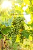 Mazzi verdi dell'uva di Blauer Portugeiser al sole Fotografia Stock