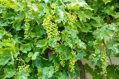 Mazzi verdi dell'uva di Muscat Ottonel Fotografia Stock