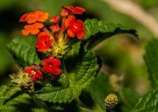 Mazzo arancio dei fiori dell'arbusto della lantana Fotografia Stock
