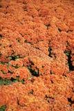 Mazzo arancio del crisantemo Immagini Stock Libere da Diritti