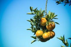 Mazzo arancio della frutta Fotografie Stock