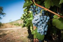 Mazzo blu fresco dell'uva Fotografia Stock