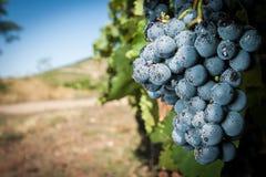 Mazzo blu fresco dell'uva Immagine Stock Libera da Diritti