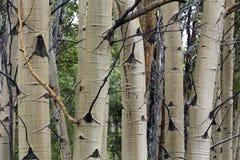 Mazzo degli alberi della tremula, Wyoming immagini stock