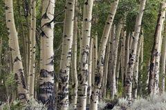 Mazzo degli alberi della tremula, Wyoming immagini stock libere da diritti