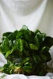Mazzo degli spinaci Fotografie Stock