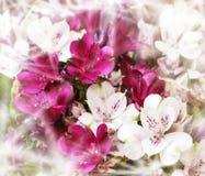 Mazzo dei alstroemerias bianchi e rosa Immagine Stock Libera da Diritti