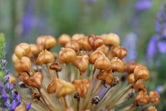 Mazzo dei baccelli del seme dell'allium Immagine Stock Libera da Diritti
