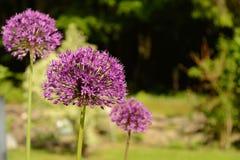 Mazzo dei fiori - allium del primo piano Fotografia Stock