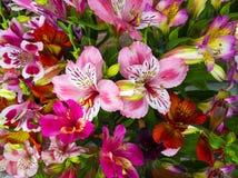 Mazzo dei fiori Alstroemeria Mazzo dei fiori Alstroemeri Fotografia Stock Libera da Diritti