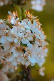 Mazzo dei fiori bianchi in fioritura un giorno di molla soleggiato fotografia stock libera da diritti