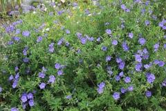 Mazzo dei fiori blu fotografia stock