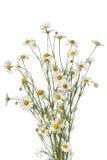 Mazzo dei fiori della camomilla immagini stock libere da diritti