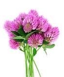 Mazzo dei fiori dentellare del trifoglio Fotografia Stock