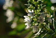 Mazzo dei fiori di echium Fotografia Stock Libera da Diritti