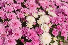 Mazzo dei fiori fucsia e bianchi fotografie stock