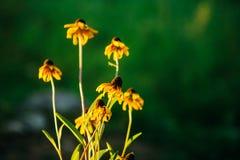 Mazzo dei fiori gialli isolati sul fondo vago della natura Immagine Stock