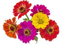 Mazzo dei fiori multicolori di zinnia Fotografia Stock
