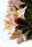 Mazzo dei fiori rosa di Alstroemeria Immagine Stock
