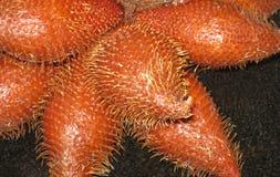 Mazzo dei frutti del serpente Immagini Stock