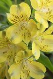 Mazzo dei gigli peruviani gialli luminosi Fotografia Stock