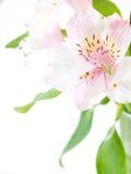 Mazzo dei gigli rosa freschi isolati su bianco Fotografia Stock