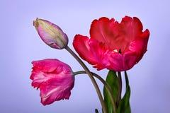 Mazzo dei tulipani Fotografie Stock