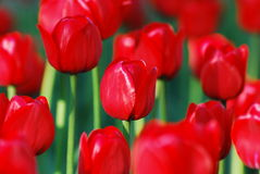 Mazzo dei tulipani alla luce solare calda Immagine Stock